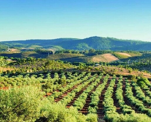 Nuestros olivares. Contamos con un espacio de trabajo de amplias dimensiones