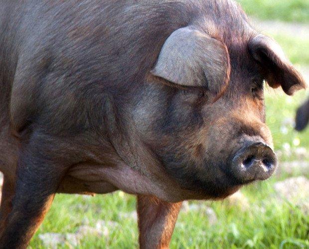 Cerdo Iberico Teruel. Cerdos