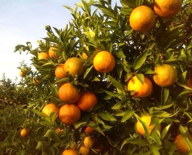 Nuestros campos. Nuestras naranjas se recogen a diario