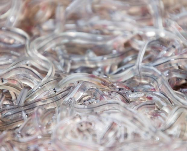 Angulas refrigeradas. Nuestras angulas refrigeradas son la forma perfecta de consumir angula todo el año