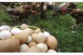Huevos Camperos Ruiloba