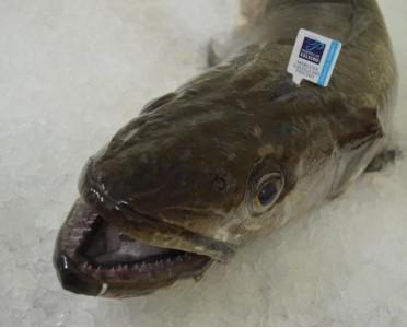 Merluza pincho. Es un pescado blanco de carne sabrosa y suave,