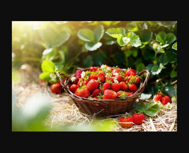 Fresas. Su sabor varía de ácido a muy dulce, dependiendo de la variedad de fresa consumida