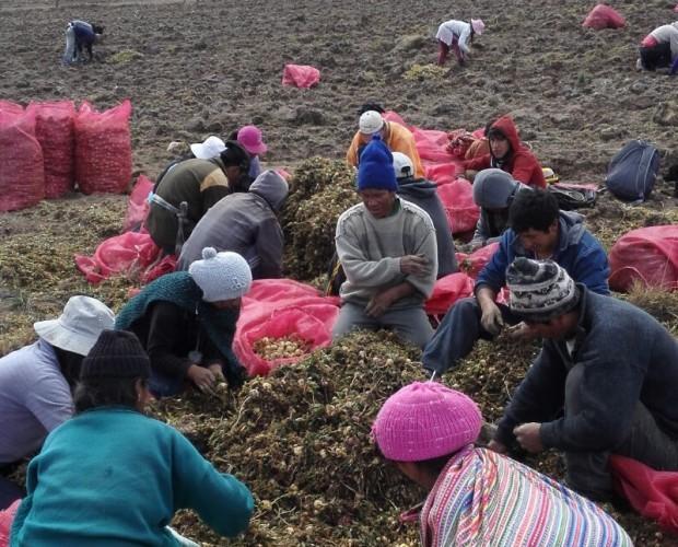 Trabajo de campo. Limpieza primaria de hojas en plantación santiago de Apata