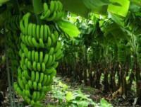 bananas y plátanos