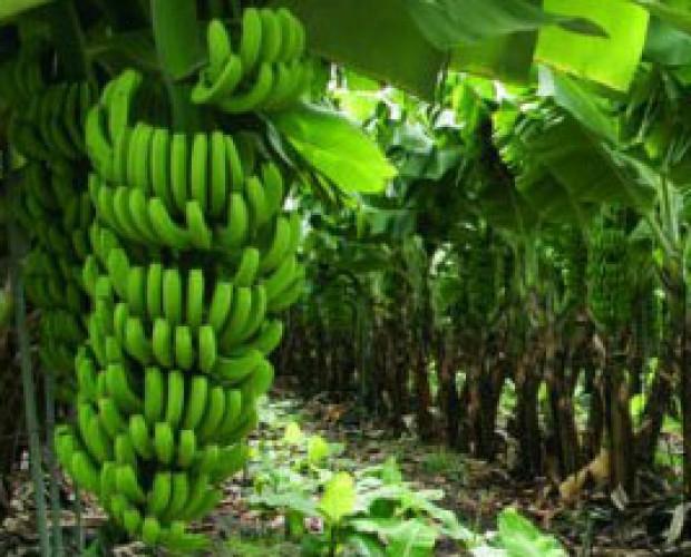 bananas y plátanos. Disponemos de las mejores bananas y plátanos