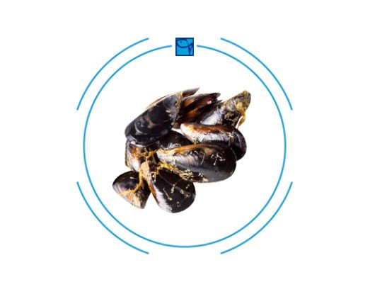 Mejillones Roca Holanda. Se encuentra en muchas recetas mediterráneas