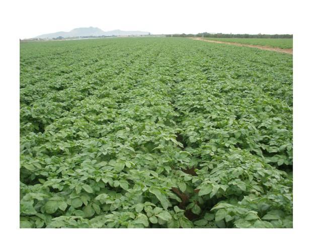 Patatas. Nuestra patata alavesa en pleno crecimiento