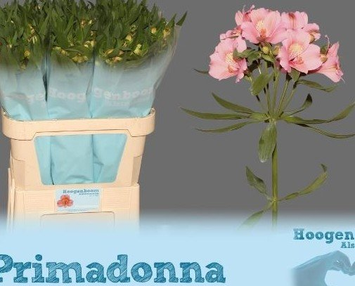 Alstroemeria. Flores preservadas