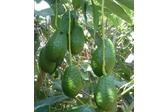 Fruta Fresca Tropical