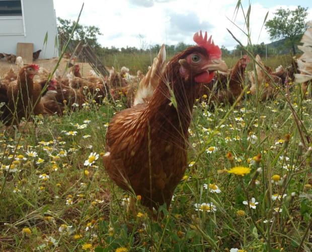 Granja Avícola. Gallinas en libertad.