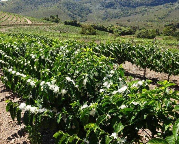 Exportadores de café. Exportadores de café verde al por mayor, y distribución nacional,y café ecológico.