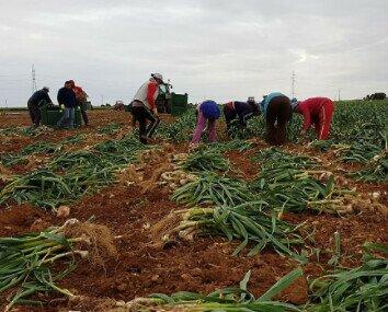 Recolección de ajos. Realizamos buenas prácticas de cultivos sostenibles