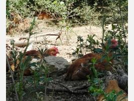 Proveedores de pollo