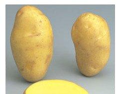 Variedad Nicola. Color de la piel amarilla