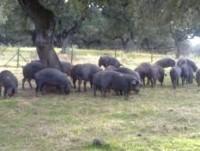 Ganadería del cerdo