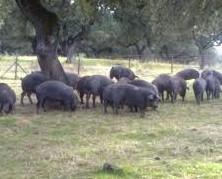 Ganadería del cerdo. Cerdo ibérico comiendo bellota en Extremadura
