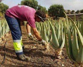 Plantas Medicinales.Cultivamos aloe vera ecológico para los productos Vidaloe® y para otras marcas