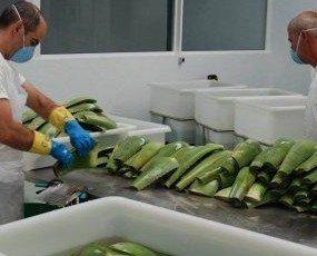 Procesado aloe vera. Transformamos las hojas de aloe vera en jugo para fabricar cosméticos y complementos