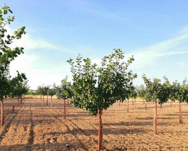 Pistacheros Tutorolivo. Plantación de pistacheros kerman y Peter sobre UCB1 - 6x5, secano con riego ocasional