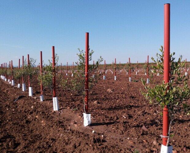 Plantación Tutorolivo. Plantación olivar superintensivo con tutor 4x175 cm