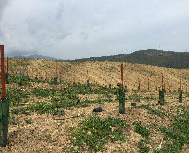 Aguacate Tutorolivo. Plantación de aguacates con tutor 4x175