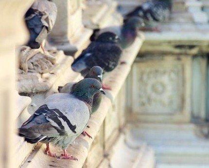 Palomas. Controlamos las plagas de palomas