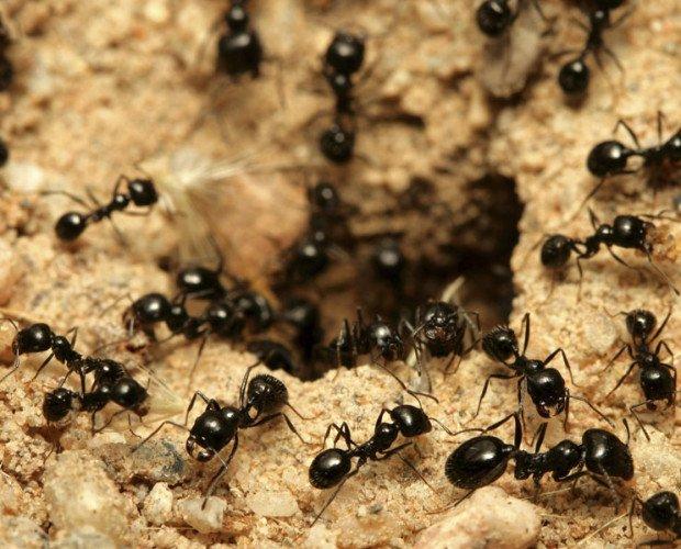 Hormigas. Ofrecemos servicios de fumigación