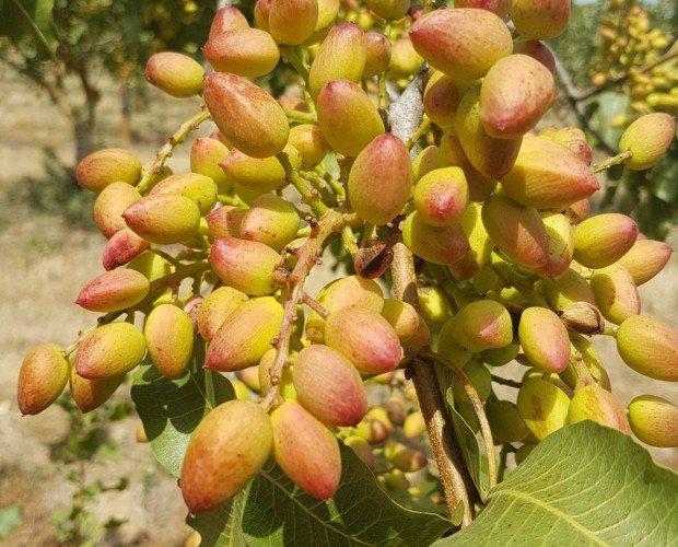Árbol de Pistachos. Todo en aperitivos