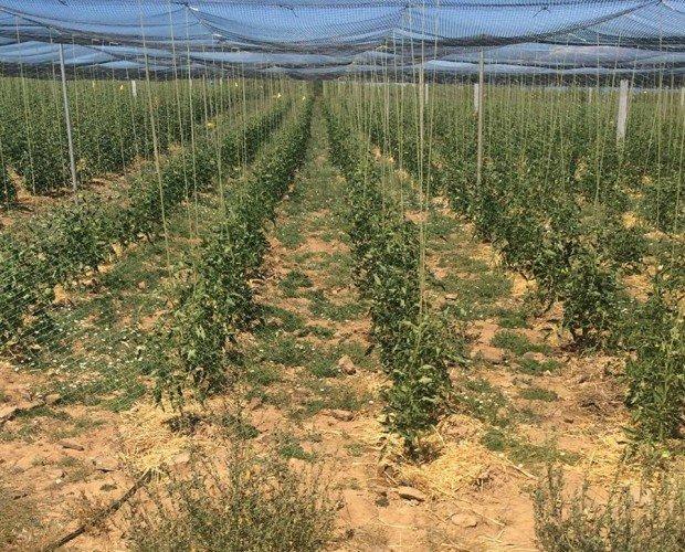 Plantas de tomate. Nuestra sede está en Madrid