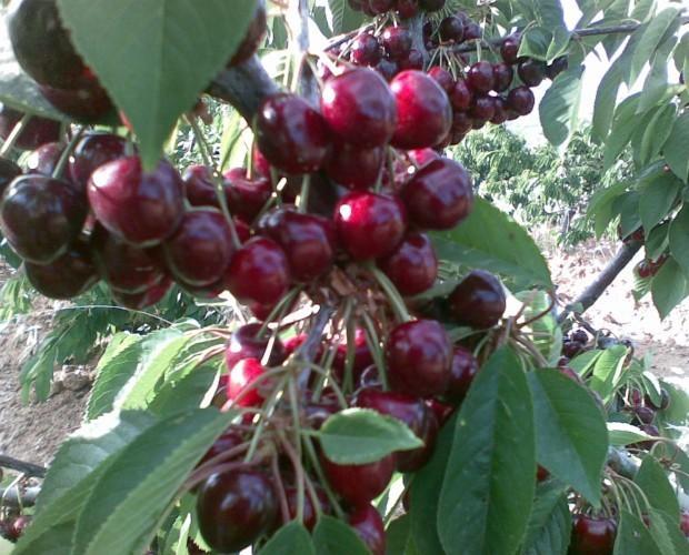 Frutas Ecológicas. Cerezas Ecológicas. Un racimo de nuestras cerezas todavía en el árbol