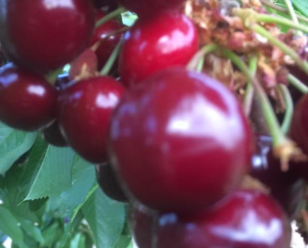Cerezas ecológicas. Producimos las variedades de cereza starking, burlá y picota.