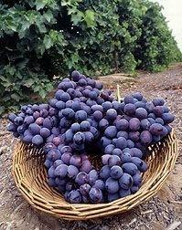 Uvas. Variedad de uvas
