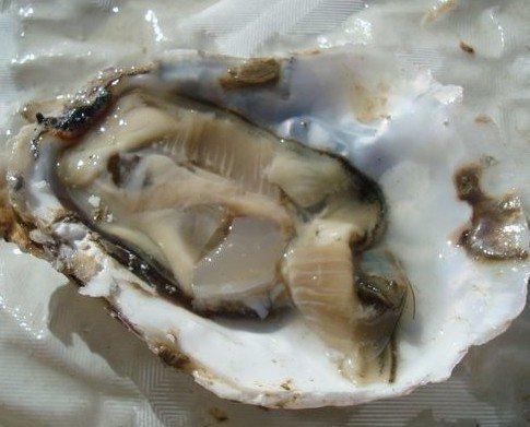 Ostra Foodfilosofy. Se alimentan sólo de fito plancton.