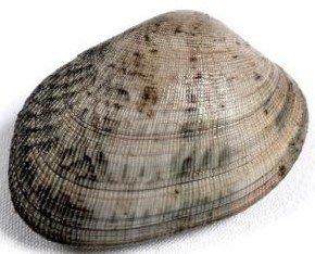 Almeja foodfilosofy. La almeja, bivalvo que vive enterrado en la arena.