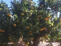 Árboles de mandarinas