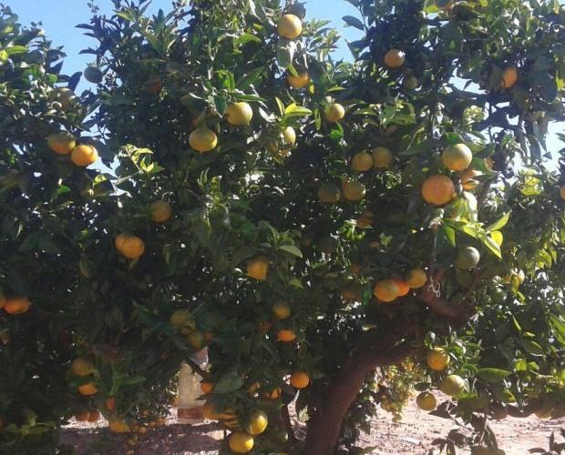 Árboles de mandarinas. Gran parte de nuestra producción se desarrolla en régimen de producción integrada