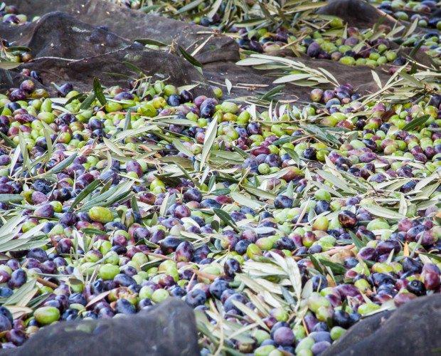 Cosecha. Nuestras cosecha: las mejores olivas
