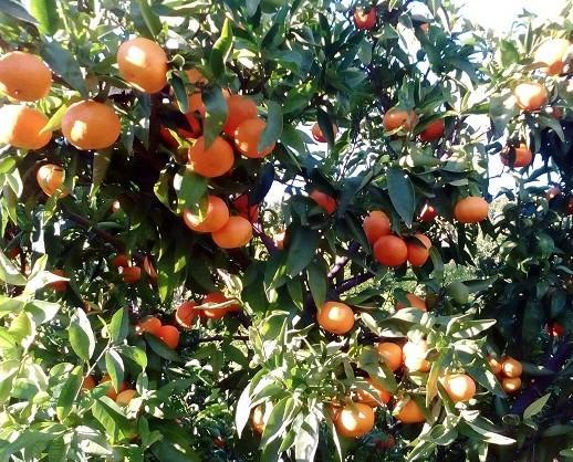 Mandarinas. Cosechadas con mimo