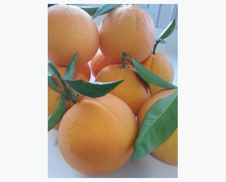 Naranja lenalate. Naranjas de mesa muy dulces y jugosas