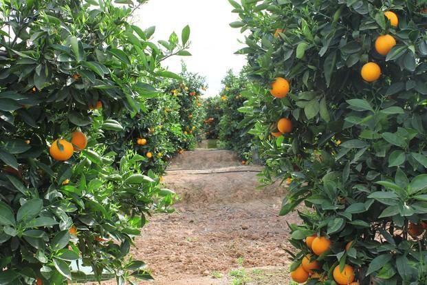 Im genes de naranjas mart nez - Naranjas del arbol a la mesa ...