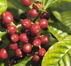 Proveedores de Café. Selección de cafés