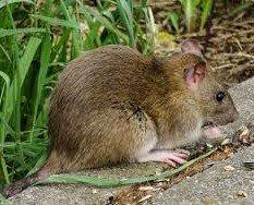 Control de roedores. Rodenticidas registrados en la Dirección General de Sanidad Ambiental