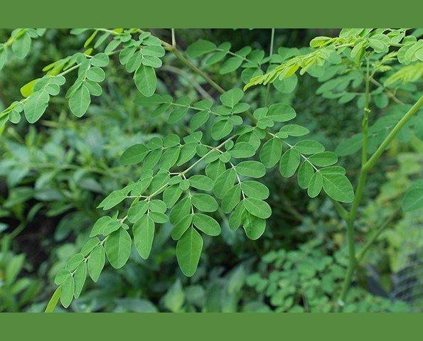 Moringa Oleífera. 100% naturales