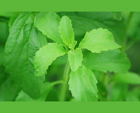 Stevia. Hojas de stevia