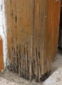 Termitas. Marco de puerta de madera devorado por termitas