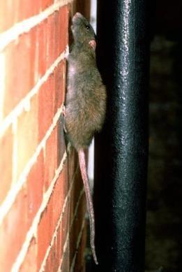 Rata. Rata gris de alcantarilla subiendo por la pared