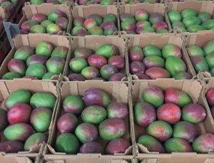 8 pallets mango organico