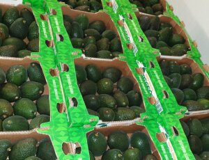 AGUACATE HASS CAT 1